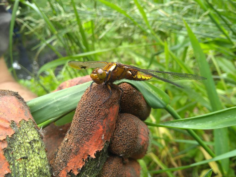 Dragonfly on the finger of a volunteer
