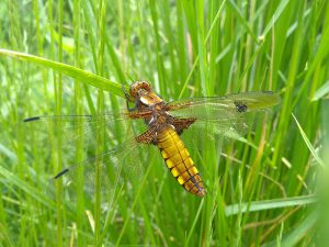 Female Broad-bodied Chaser