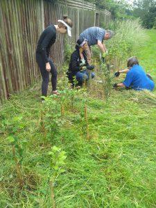 Volunteers clearing carefully around saplings