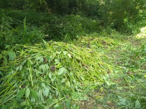 Piles of pulled up balsam