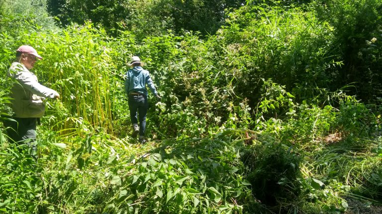 Volunteers clearing balsam