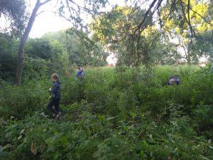 Volunteers pulling up balsam