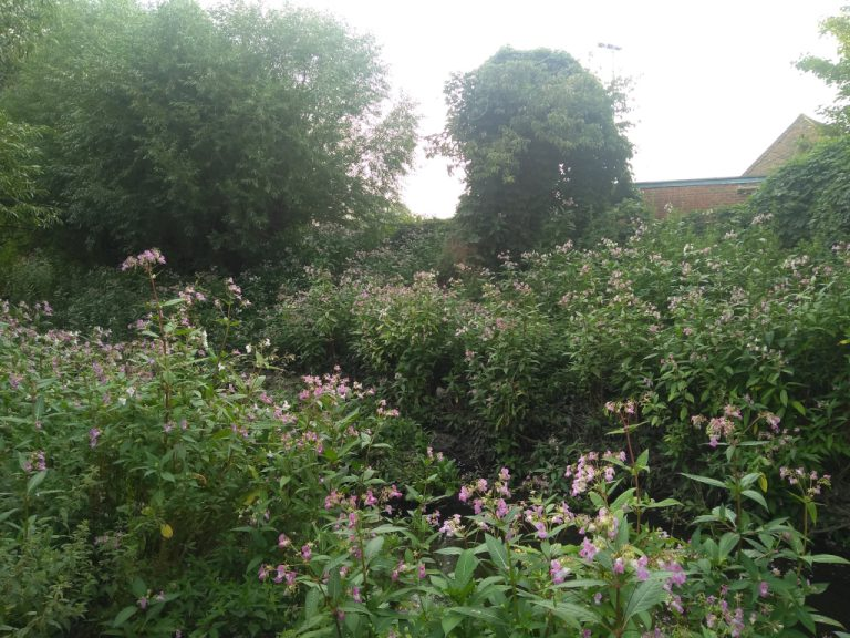 Balsam on the banks of the Hogsmill River